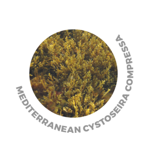 KV-1 Diamond Soul - Cystoreira alga